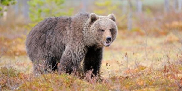 Medvědy v ČR nezabíjet - vždy najít jiné řešení než zabití #SaveTheBear